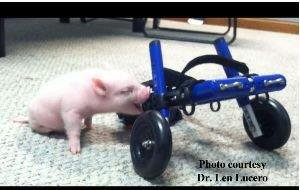 pig-wheelchair